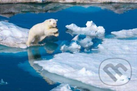 Young male polar bear -